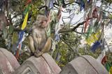 Monkey at the Swayambhunath Stupa monkey temple in Kathmandu, Nepal - 195578390