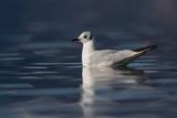 black-headed gull (larus ridibundus) swimming, deep blue water - 195590996