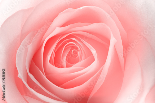 macro of a rose flower - 195593901