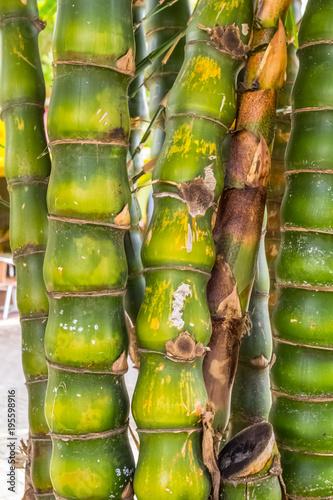 Plexiglas Boeddha bambou ventre de bouddha, Bambusa Ventricosa