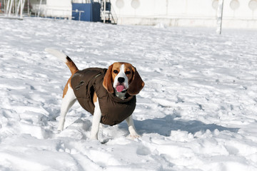 Dog beagle in winter clothes
