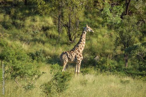 Fototapeta giraffe standing , early morning