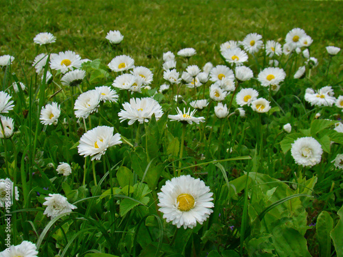 Daisies flowers in the grass