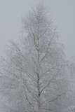 A birch covered with snow and ice in winter