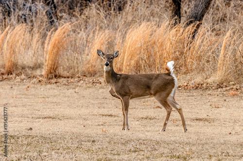Aluminium Hert Deer standing in a field.