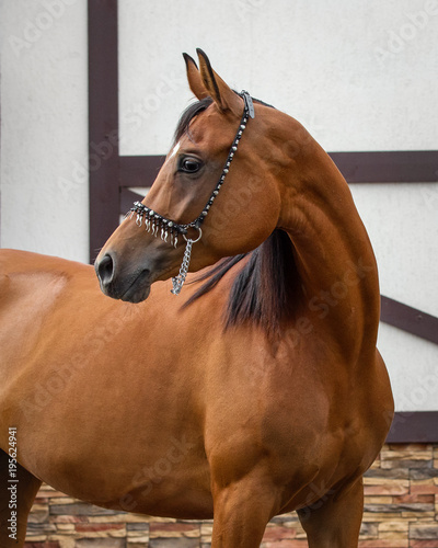 Portrait of a bay horse with show halter look back isolated on light background