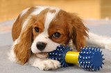 Cavalier King Charles Spaniel Welpe mit Hundespielzeug