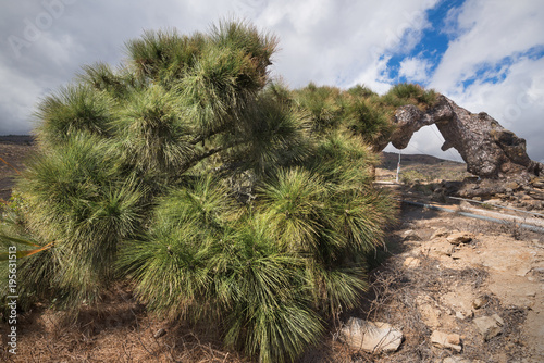 Papiers peints Iles Canaries Rare pine tree alive lying and growing on the floor