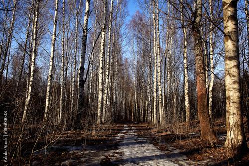 Plexiglas Berkenbos Birch Grove spring path nature russia