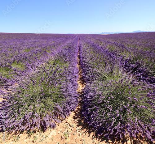 In de dag Lavendel champ de lavandin du Lubéron