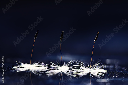 Aluminium Paardenbloemen dandelion seeds black background concept lightness