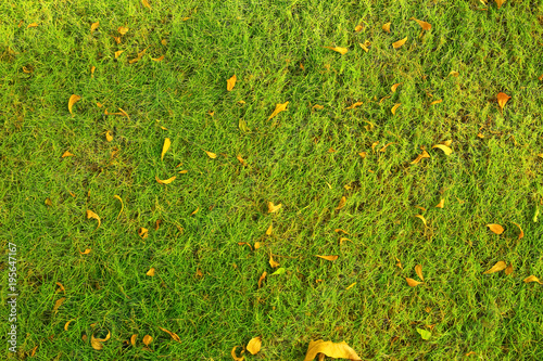 Texture of green grass on a glade