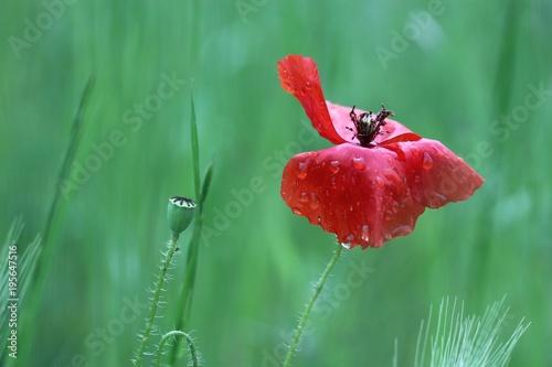 Staande foto Klaprozen Fiore di papavero sotto la pioggia.