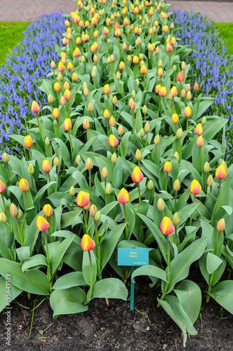 Tulipas são flores ornamentais do gênero de plantas liliáceas, formadas por uma única flor em cada haste