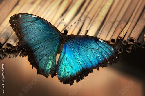 Fotobehang Vlinder blauer Morpho