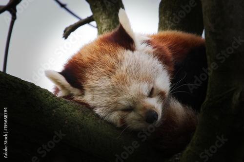 Aluminium Panda roter Panda