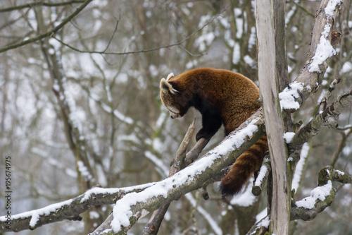Fototapeta Panda red walking on the branch.