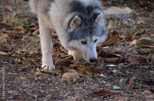 Fotobehang Wolf husky sibérien noir et blanc
