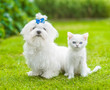 White maltese puppy and chinchilla cat sitting together on green grass