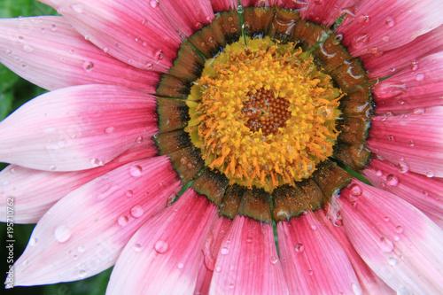 Poster Candy roze ingrandimento fiore