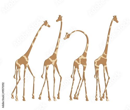 Fototapeta african giraffes illustration