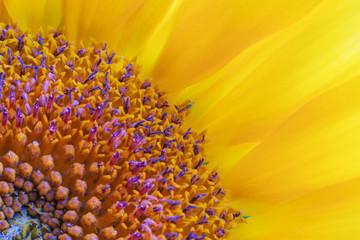 Sunflower close-up, macro of stamens, pollen, petals