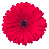 red gerbera flower isolated on white background, view from above - 195719970