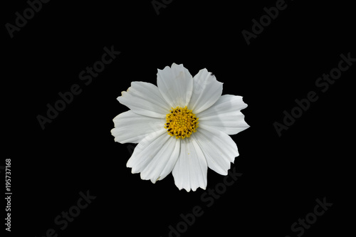 Flower Cosmos isolated on black