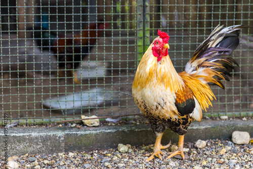 Foto op Canvas Natuur Beautiful Rooster