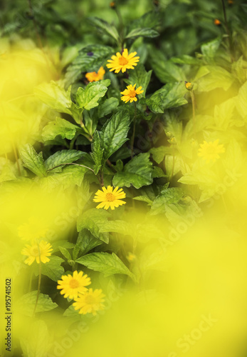 Yellow daisies in nature