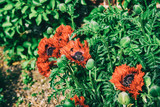 Poppy seed in Kitchen garden spring