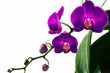 Studio shot of bloomed purple Phalaenopsis Orchids on white background in various states of bloom