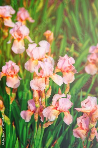 Fotobehang Iris Pink Iris in Kitchen garden in Audley UK