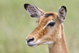 Portrait of a female impala in Serengeti National Park in Tanzania - 195749328