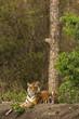 Royal Bengal Tiger Nagarhole National Park Karnataka India