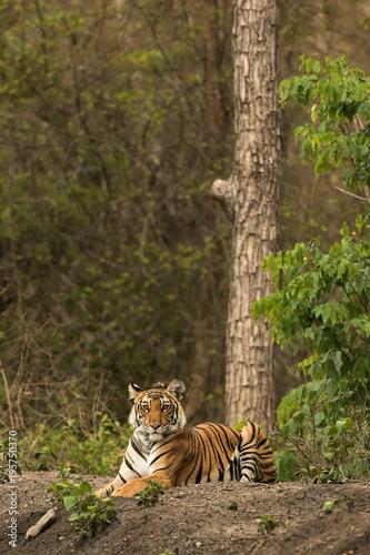 Aluminium Tijger Royal Bengal Tiger Nagarhole National Park Karnataka India