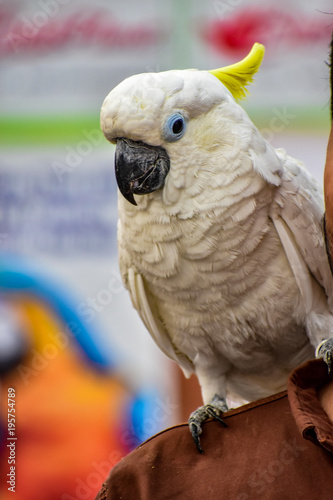 Fototapeta cockatoo