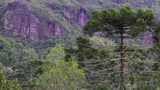 Floresta de pinheiro e montanha. - 195757302