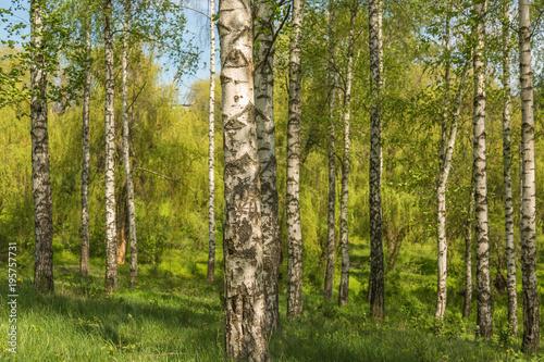 Plexiglas Berkenbos Birch forest in daylight. White birches and green grass.