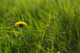 Closeup of a dandelion in a grass