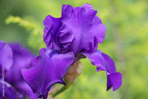 Fotobehang Iris Spring flowers, purple irises in the garden, ultraviolet flowers on a green background, blank for the designer, beautiful flowers in the minimalism style, copy space