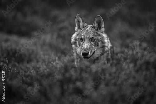 Aluminium Wolf Wolf eurasian, canis lupus lupus into forest