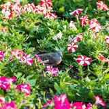 Flowering petunias on display. - 195772928