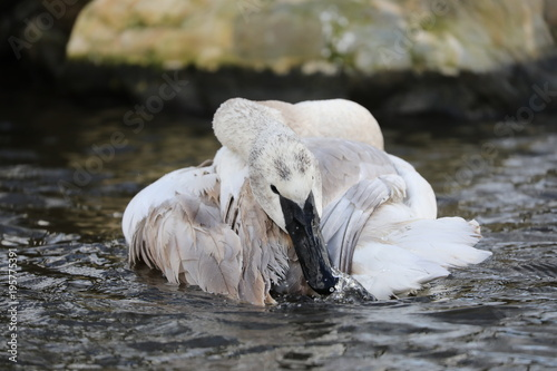 Fotobehang Zwaan Trumpeter Swan in the water