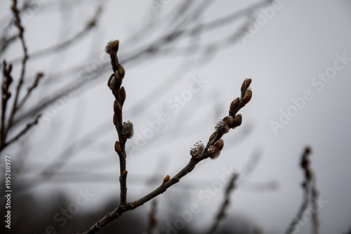 Aluminium Betoverde Bos tree branches in fog with the gray sky background. Close up view. Selective focus.