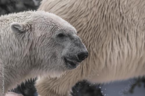 Papiers peints Antarctique Primo piano di un orso polare appena uscito dall'acqua