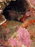 Falschaugen-Kugelfisch (Canthigaster papua) - 195790746