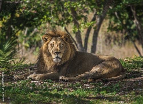 Fotobehang Lion Lion Looking