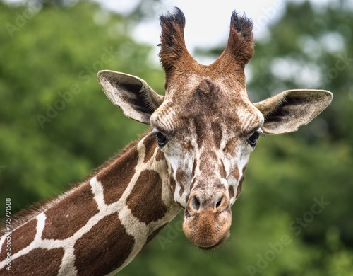Fototapeta Curious Giraffe