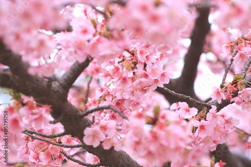 Poster Candy roze 満開の河津桜